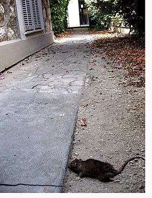 Le rat, mort